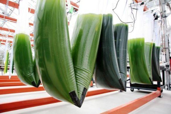 credit Synthetic Genomics alghe coltivate in bioreattori