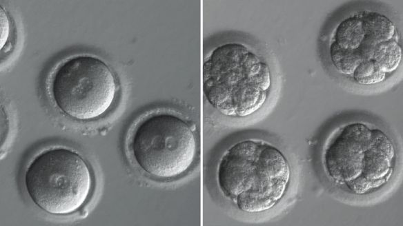 embryo-main