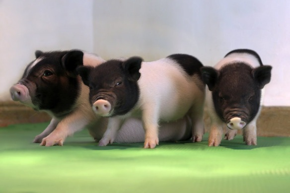 perv free piglets eGenesis