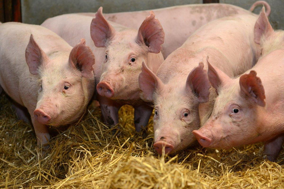 Roslin CRISPR pigs