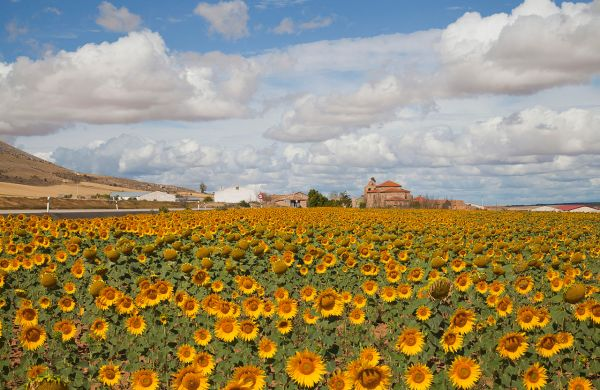sunflowers in Spain
